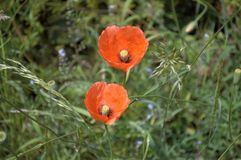 Poppies club together, delicate in the breeze stock photography