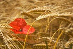 Poppies and corn. Poppy in the medium of a corn field in summer Royalty Free Stock Image