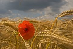 Poppies and corn. Poppy in the medium of a corn field in summer Royalty Free Stock Photography