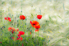 Poppies in a Corn Field Stock Photo