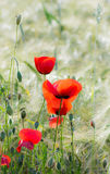 Poppies in a Corn Field Stock Image