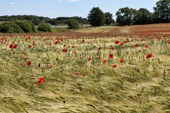 Poppies in a Corn Field Royalty Free Stock Images