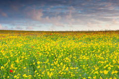 Poppies and Corn Marigold Royalty Free Stock Images