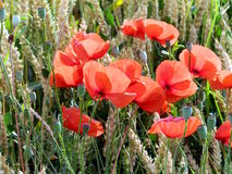 Poppies in a cornfield. royalty free stock photo