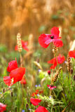 Poppies in cornfield - Papaver rhoeas Stock Photo