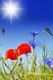 Poppies And Cornflower. With Sun And Blue Sky In Background Royalty Free Stock Images