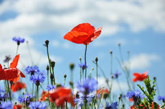 Poppies and Cornflowers. Bright red poppies and cornflowers in front of blue sky with clouds Royalty Free Stock Photography