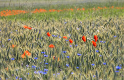 Poppies and Cornflowers Stock Photo