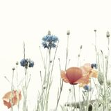 Poppies and cornflowers Royalty Free Stock Image