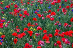 Poppies and cornflowers field background. Poppies Papaver dubium and cornflowers Centaurea cyanus field on the sunny summer day Stock Images