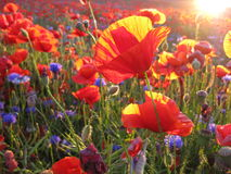 Poppies and cornflowers in the sunset Stock Photo