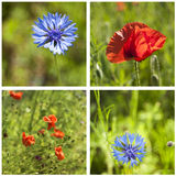 Poppies and cornflowers Royalty Free Stock Images