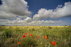 Poppies in the countryside. Landscape of fields and meadow dotted with wild poppies, blue sky and cloud background Stock Image