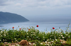 Poppies and daisies on a coast. Royalty Free Stock Image