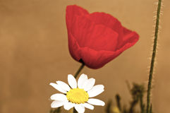 Poppies and daisies Stock Photography