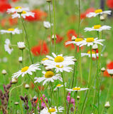 Poppies and daisies. Royalty Free Stock Images