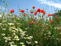 Poppies and daisies on sky background. Bottom view. stock image