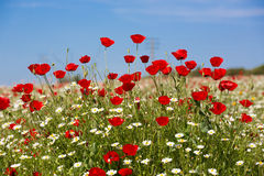 Poppies and daisies on spring field Stock Image