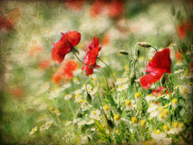 Poppies and daisy flowers Stock Photography