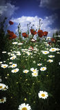 Poppies and daisy. Macro photo of opened with poppies and daisy in the spring Stock Photos