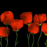 Poppies dance. On black blackground Royalty Free Stock Images