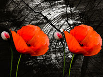 Poppies on a dark background Royalty Free Stock Photo