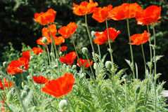 Poppies on a dark and green background. Stock Photo