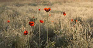 Poppies at dawn. Red poppies in the dew at dawn Stock Images
