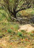 Poppies in the desert. poppies bloom  in the desert in the early spring. Poppies in the desert. poppies bloom in the desert in the early spring Royalty Free Stock Photography