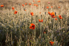 Poppies in the dew. Red poppies in the dew at dawn Stock Photo