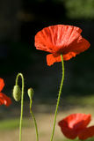 Poppies, with dew. Early morning side lit poppy with dew royalty free stock photography