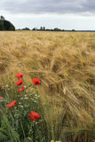 Poppies and diasies on the rye field. Poppies and diasies growing on the edge of the rye field Stock Image