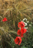 Poppies and diasies on the rye field Stock Photo