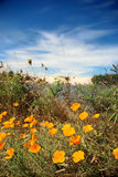 Poppies and Dunes Royalty Free Stock Photography