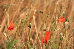 Poppies and ears Royalty Free Stock Image