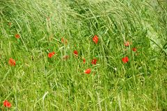Poppies on the edge of the field. Bright red poppy flowers on the edge of a field, surrounded by grass Royalty Free Stock Image