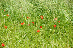 Poppies on the edge of the field. Bright red poppy flowers on the edge of a field, surrounded by grass Royalty Free Stock Photo