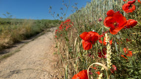 Poppies at the edge of a path Stock Photos