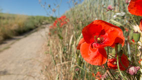 Poppies at the edge of a path Royalty Free Stock Images