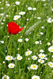 Poppies end ox-eye Royalty Free Stock Photo