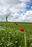 Poppies end ox-eye Stock Photos