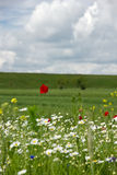 Poppies end ox-eye Stock Images