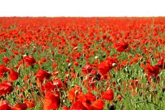 Poppies in a field Stock Photos