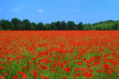 Poppies Field Stock Photo