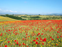 Poppies field Stock Image