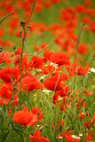 Poppies field. Field full of red poppies flowers Stock Image