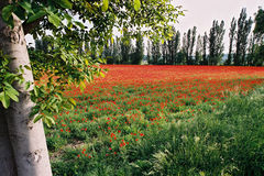 Poppies field 2. A lot of poppies Royalty Free Stock Photography