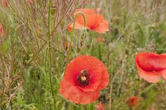 In poppies field Stock Images