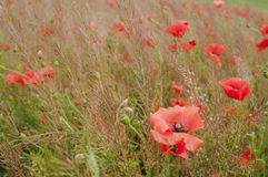 In poppies field Stock Image