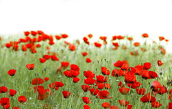 Poppies field. Red poppies field with white background royalty free stock photos